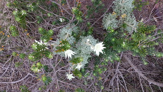 Flannel Flowers at Box Head