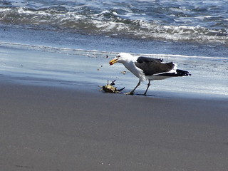 Image of  Playa Lagunillas. chile sea bird beach animal mar sand eating seagull gull crab playa arena ave gaviota cangrejo jaiva viregióndellibertadorbernardoohiggins lavegadepupuya