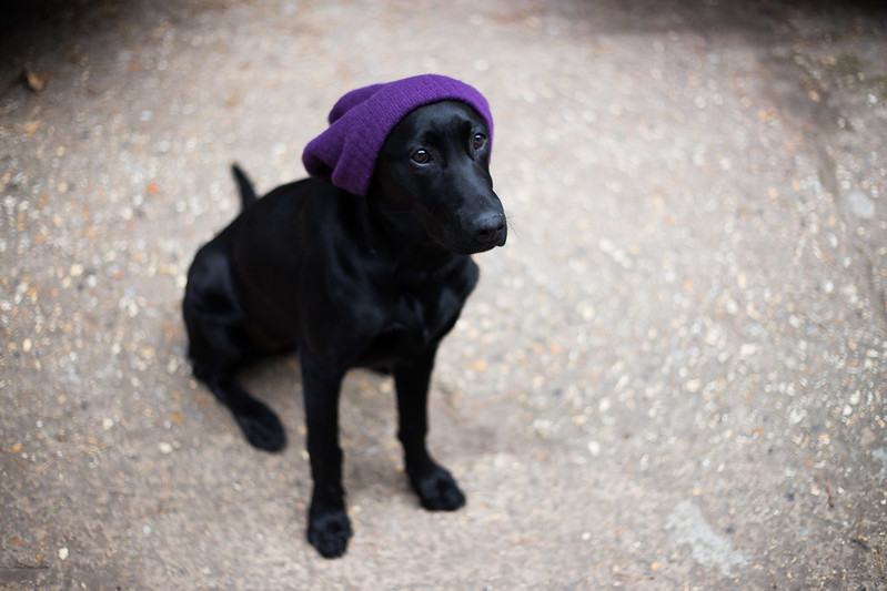 Street Style - Rosie the Labrador, Folk Digital