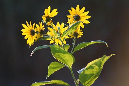 flower green yellow sunrise meadow wildflower minersmarsh sonyslta65