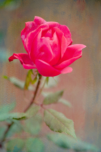 Textured Rose~ by conniee4 aka Connie Etter