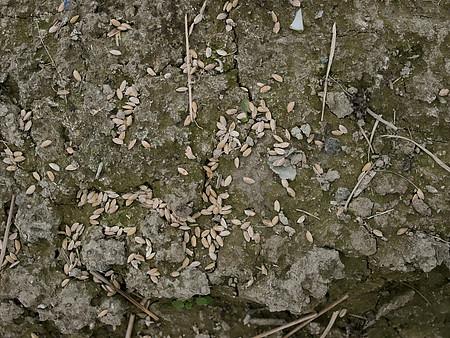 毒餌。圖片來源:屏科大野保所鳥類實驗室