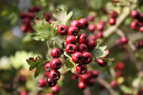 Hawthorn berries at Woodlands farm