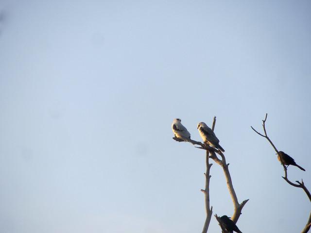 TWO white-tailed kites
