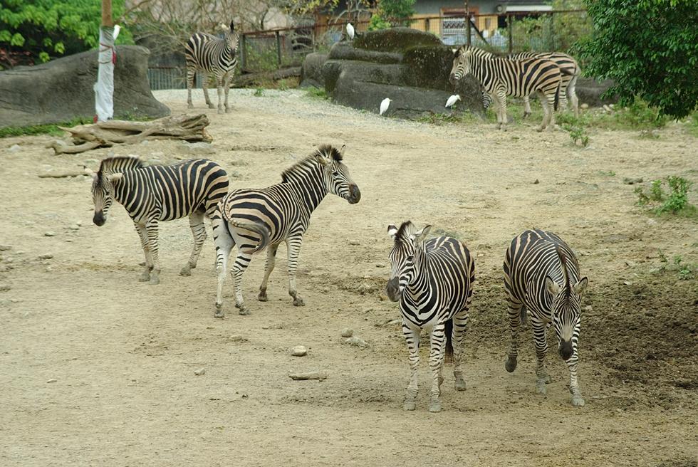動物園 (沒圓仔) 36P