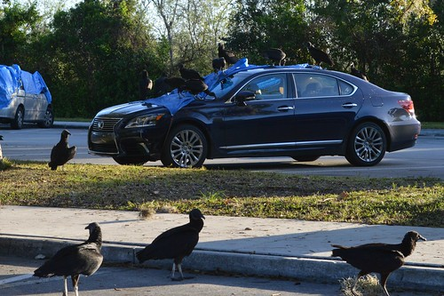 Black vultures Vs. Lexus