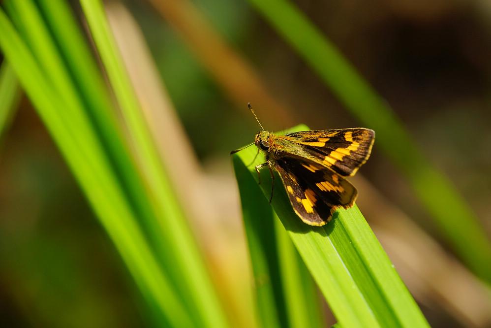 黃斑弄蝶屬淡黃斑弄蝶01
