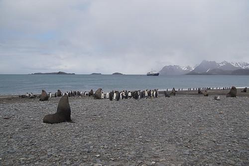 330 Zeeberen en Koningspinguins