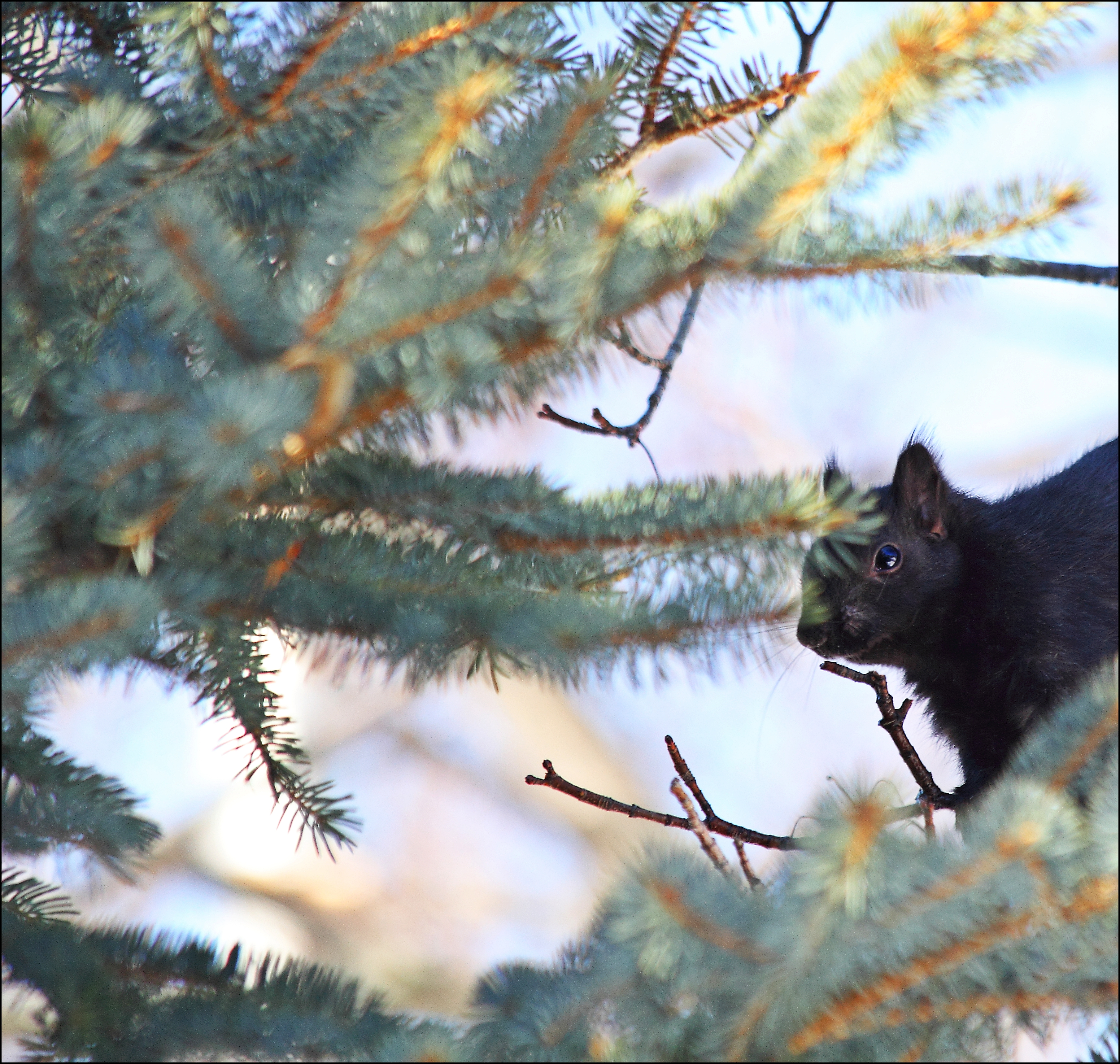 The Sap Is Running So The Squirrel's Are Happy. sky, sun, black, tree, canon, squirrel, 70300mm, 60d. buy photo