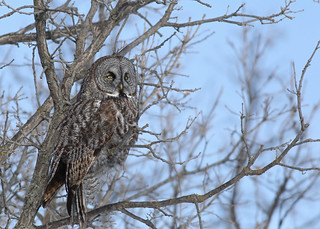 Great Gray Owl...#1