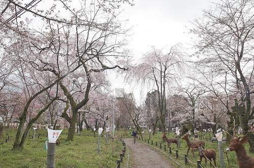 【写真】2014 桜 : 平野神社/2020-06-29/IMGP5567