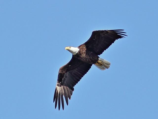 Bald Eagle male in flight 20140409