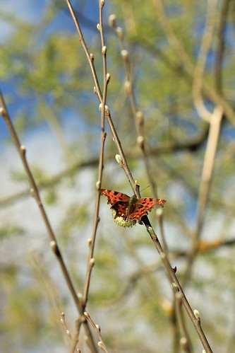 Comma Willow 26408