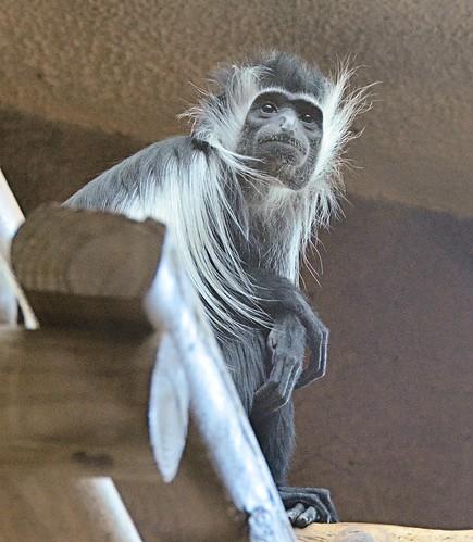 mammal monkey texas primate brownsville gladysporterzoo herbivorous nikond7000 nikkor18to200mmvrlens