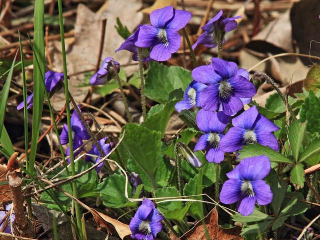 Blue Violet 2-20140505