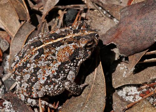 科學家發現美國東南沿岸的原生種橡樹蟾蜍(Anaxyrus quercicus)能獲得對抗壺菌的免疫力。(圖:Mary Keim)