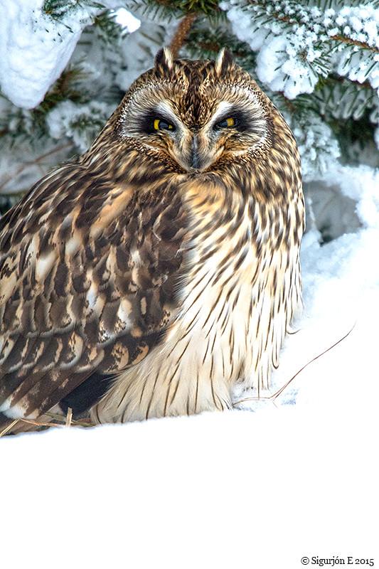 Brandugla - Short-eared Owl_2278