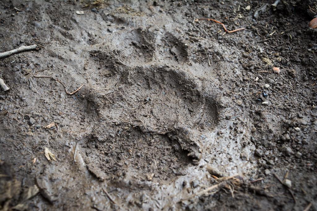 A puma track in the Ceron area