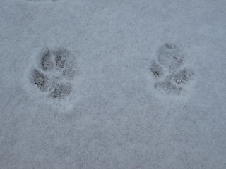 Paw-prints in the Snow