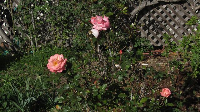IMG_9226 bill warriner roses