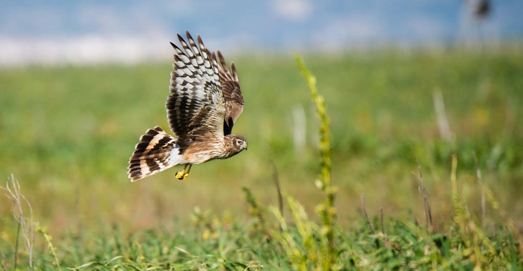 Tartaranhão azulado | Circus cyaneus | Northern Harrier