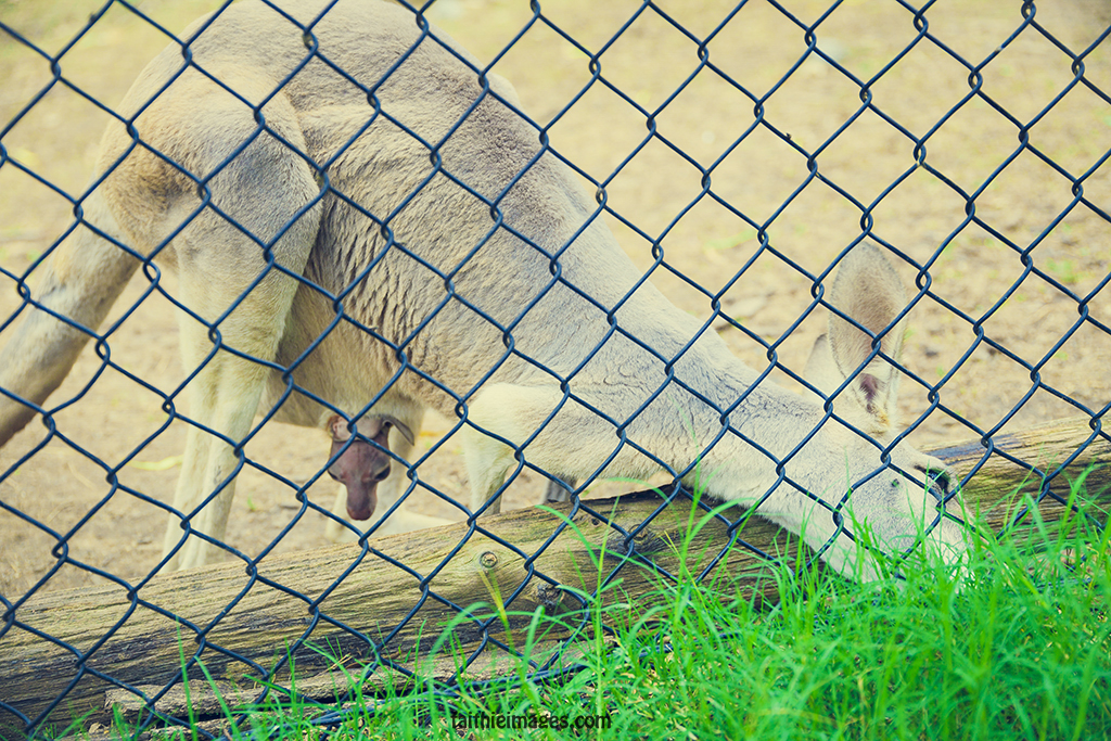 Kangaroo mum eating grass behind a fence and little joey poking his head out