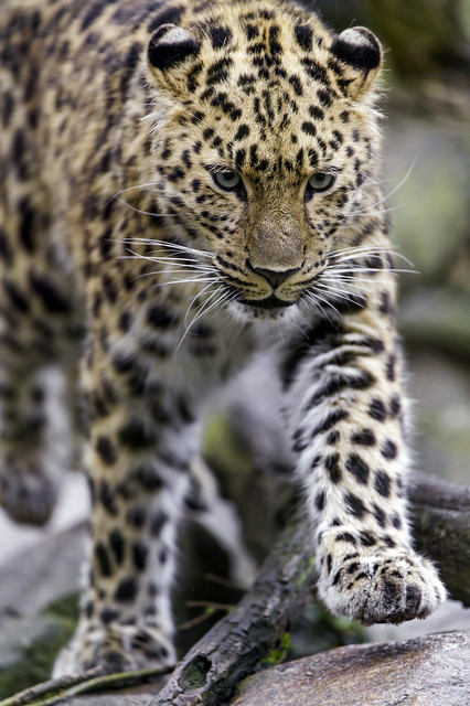 Young leopardess walking on the stone