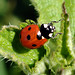 Coccinella - by Pier☯ * ON/OFF....VERY BUSY