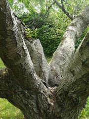 Tree Trunk Branching