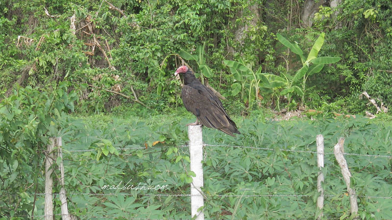 Turkey Vulture (Cathartes aura) in Vinales