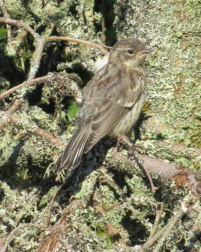 Yellow-rumped Warbler fledgling (pretty darn sure) Taylor Head - July 3, 2016