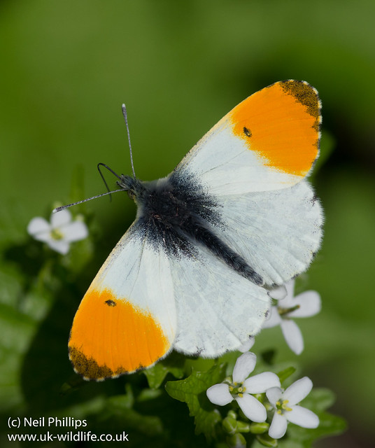 orange tip butterfly male Anthocharis cardamines-5