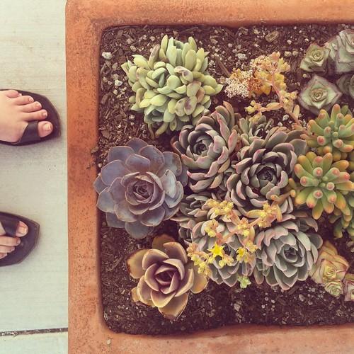 drollgirl / succulents