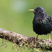 Iridescent Starling by dinners85