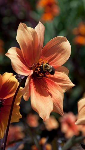 Bumblebee on Dahlia 'Best Bett' LG 8-14-13 9891 lo-res