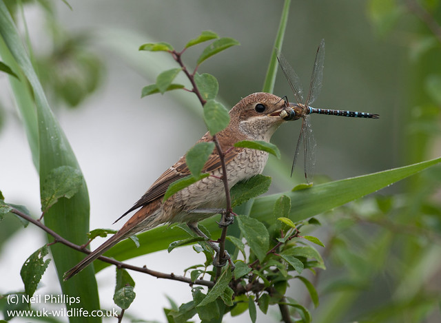red backed shrike eating migrant hawker