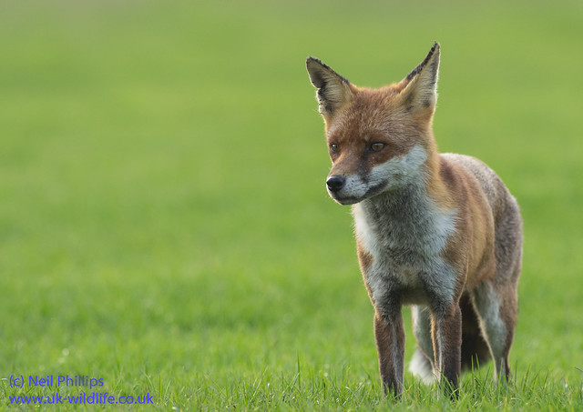 red fox Vulpes vulpes-14