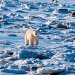 北極熊深受暖化之害。(攝影:陳維滄)