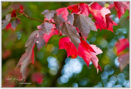 Red Foliage I