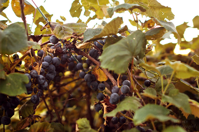 Harvest Time - Concord Grapes