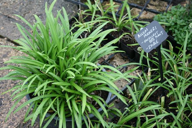 Allium hookeri