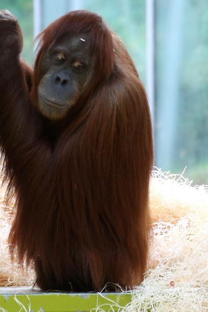 Sumatra Orang Utan Sitti 2013_10_30 364