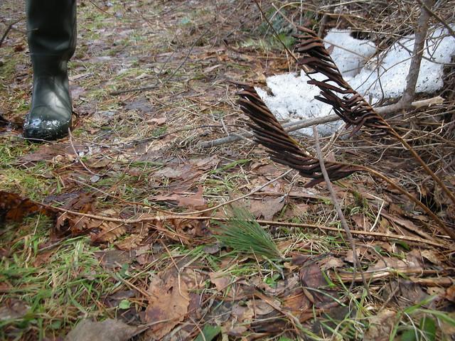 地面に張り付いているのが,栄養葉,冬でも目立っている方が胞子葉と2つの葉をもつイヌガンソク.