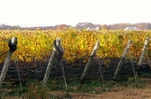 plants ny newyork harvest longisland vineyards grapes northfork southold suffolkcounty mattebellavineyards mattebellawines