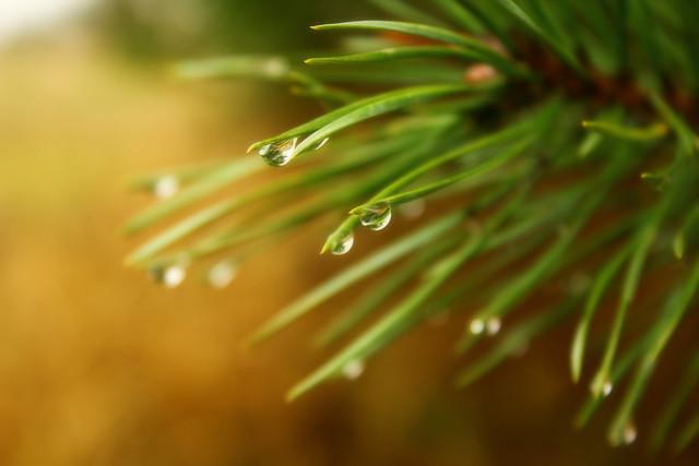 Rain's pine