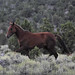 Mustang Filly - Antelope Mountain - Nevada by Prairie Fire Imaging