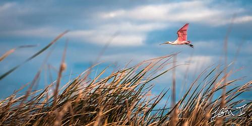 roseatespoonbill spoonbill bird birdinflight portaransas marsh habitat wetlands leonabelleturnbullbirdingcenter leonabelleturnbull texas texasgulfcoast birdsoftexas pink pinkbird flying flight