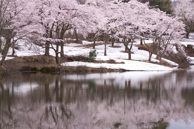 写真_桜はさくら2
