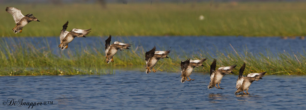 Gadwall male landing