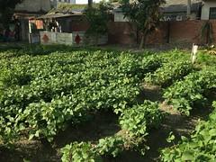 東榮國小的菜園。